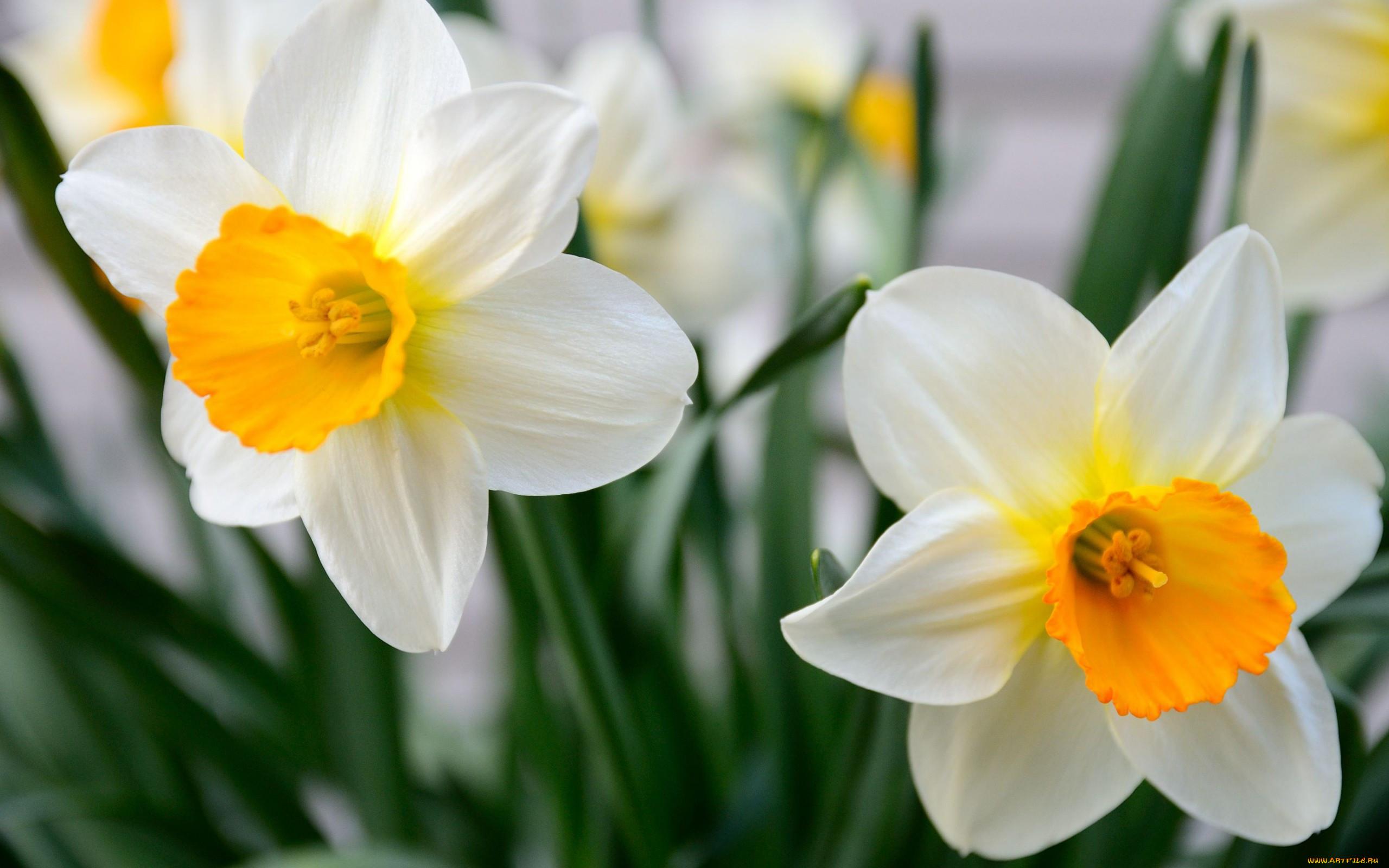 картинки цветы красивые нарциссы клещи относятся